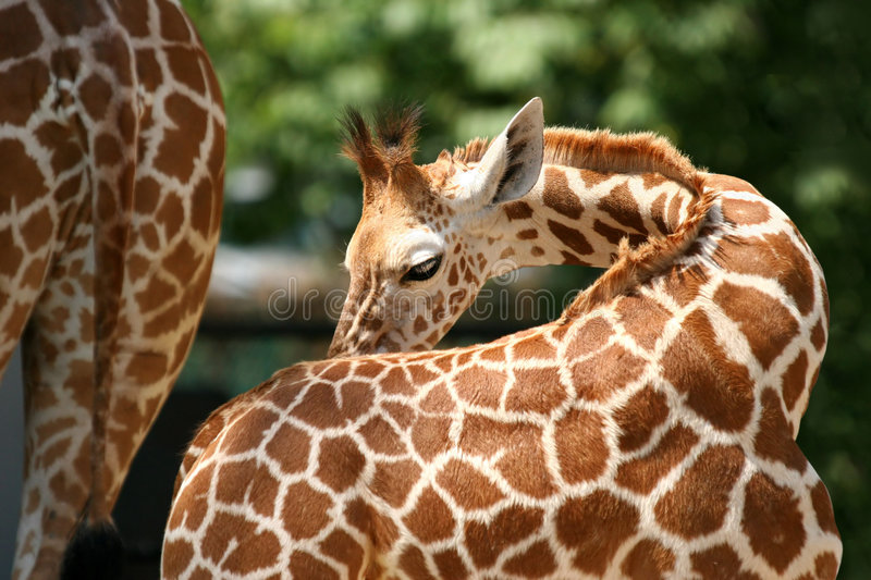 Download Giraffe image stock. Image du herbivore, giraffe, buisson - 739611