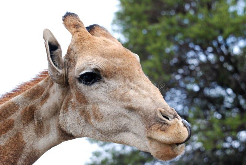Download Giraffe stock image. Image of cute, habitat, outside, field - 7623635