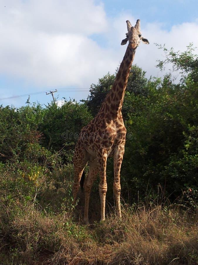giraffe fotografia de stock