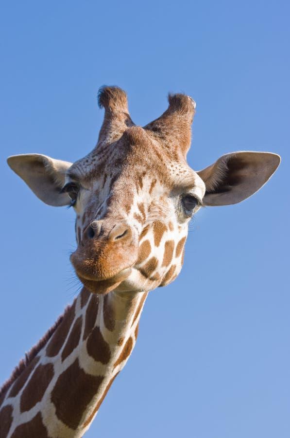 Download Giraffe image stock. Image du animal, vert, camelopardalis - 8654253