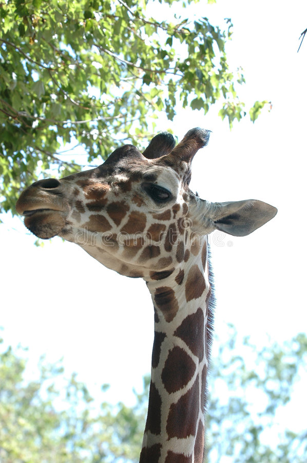 Giraffe # 9 photos stock