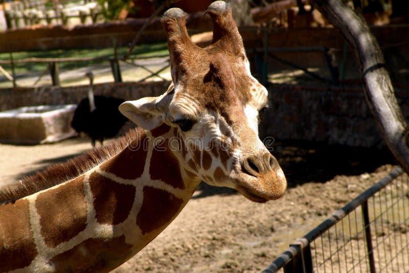 Giraffe Free Stock Photos