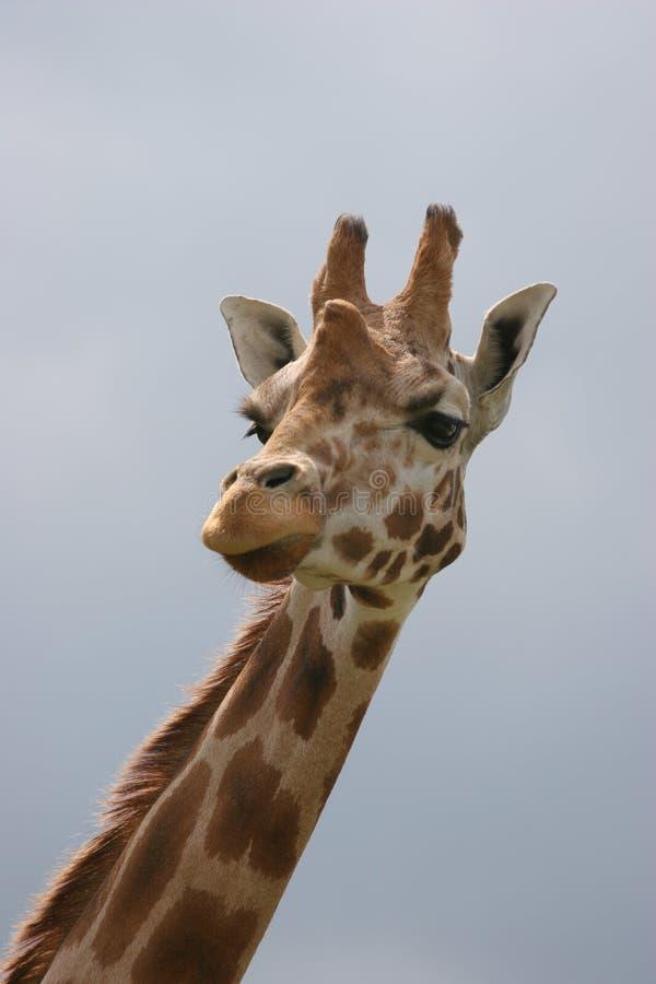 giraffe стоковые изображения
