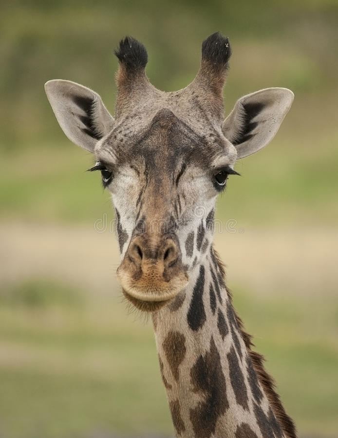 giraffe foto de stock royalty free