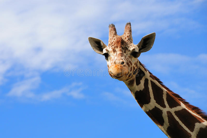 Giraffe. A giraffe against a blue sky