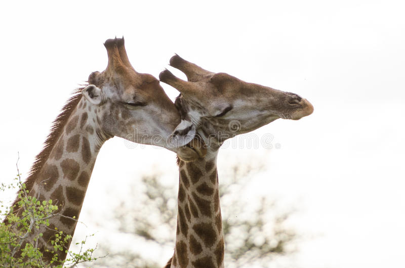 Giraffe Affection. Giraffes show affection, Kruger National Park, South Africa stock photo