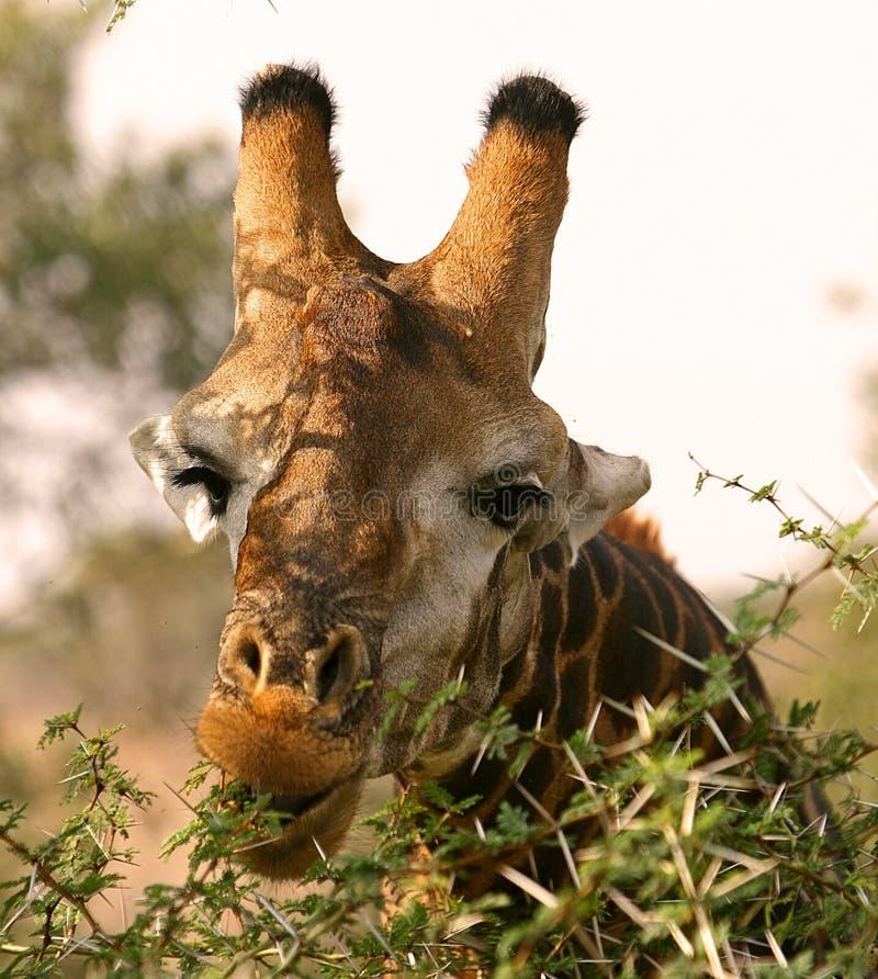 Giraffe africaine photo stock