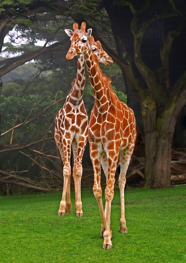 Download Giraffe africane immagine stock. Immagine di africano - 7304989