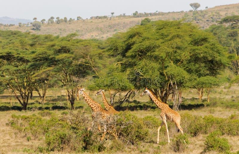 Giraffe in Afrika Naturpark stockbild