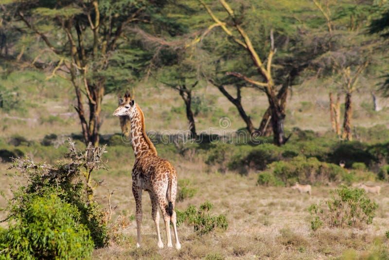 Giraffe in Afrika Naturpark lizenzfreie stockfotografie