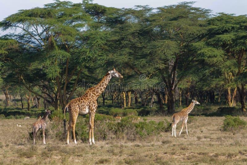 Giraffe in Afrika Naturpark stockfotos