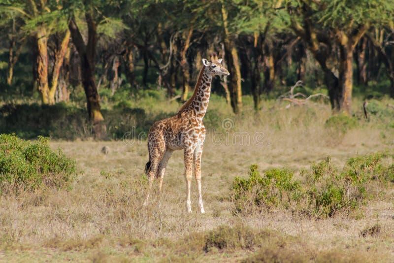 Giraffe in Afrika Naturpark stockbilder
