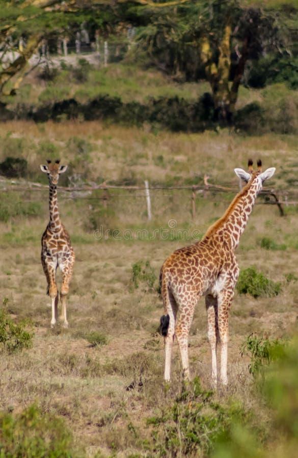 Giraffe in Afrika Naturpark lizenzfreie stockbilder