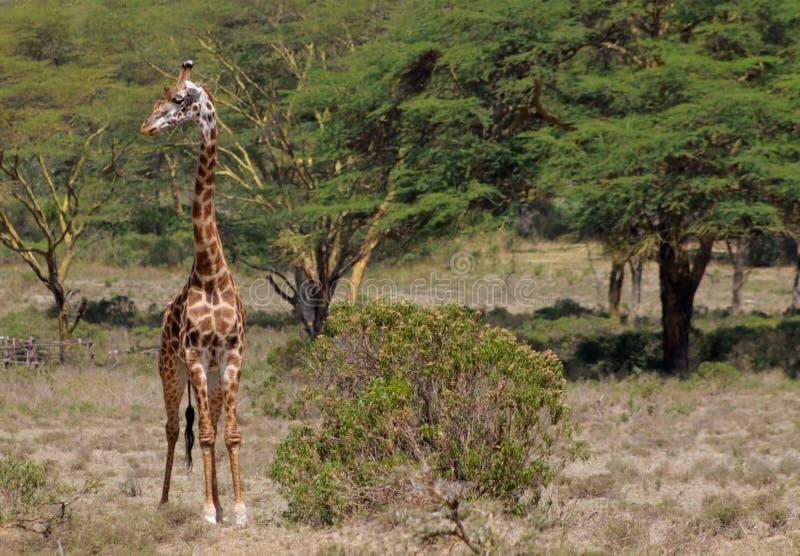Giraffe in Afrika Naturpark lizenzfreies stockbild