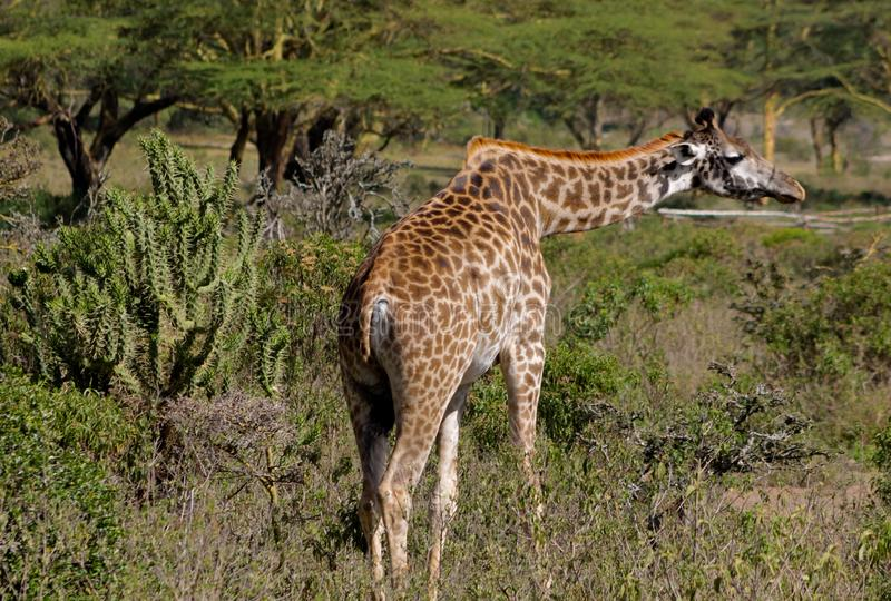 Giraffe in Afrika Naturpark stockfoto