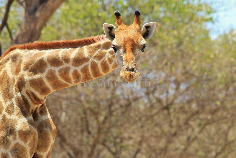 Giraffe - afrikanischer Hintergrund der wild lebenden Tiere - Gesichtspunkt lizenzfreie stockfotos