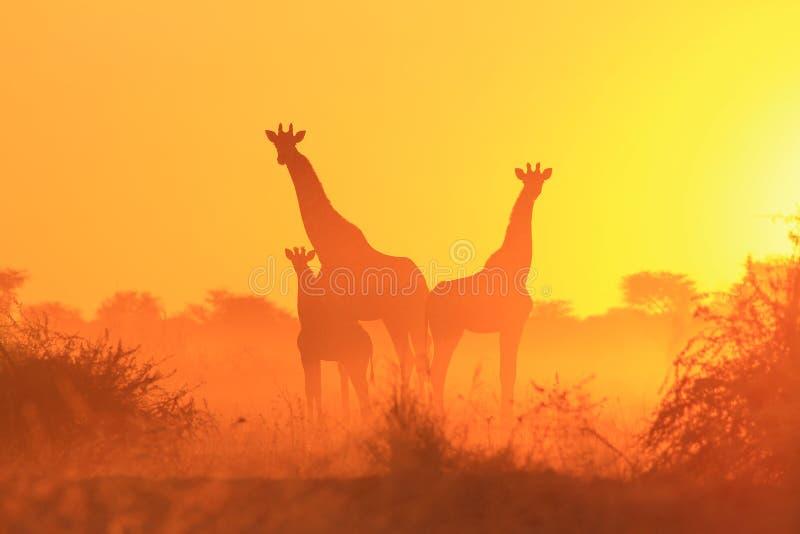 Giraffe - afrikanischer Hintergrund der wild lebenden Tiere - Sonnenuntergang von magischen Farben stockbilder