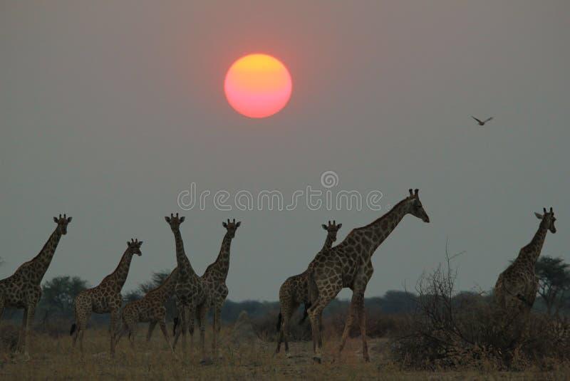 Giraffe - afrikanischer Hintergrund der wild lebenden Tiere - unter einer untergehenden Sonne stockbild