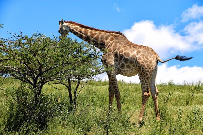 Giraffe (Afrique du Sud) photos libres de droits