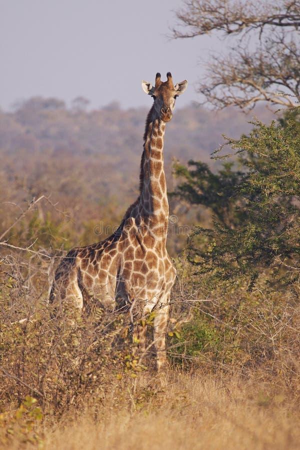 Giraffe alerta no bushveld espinhoso fotografia de stock royalty free