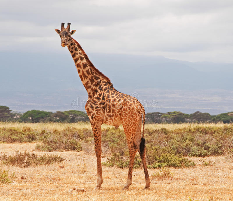 Giraffe at Amboseli National Park, Kenya royalty free stock image