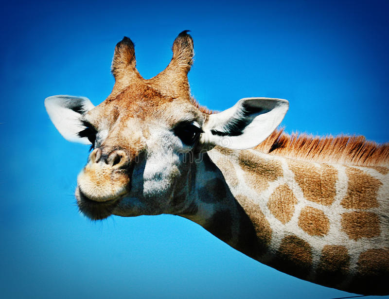 Giraffe amicale photographie stock