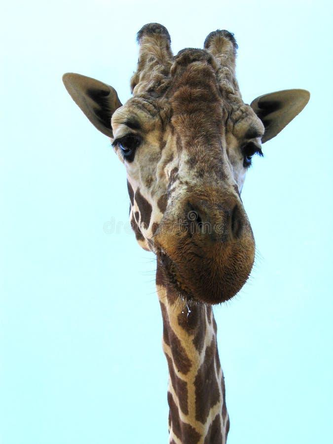 Giraffe amicale image stock