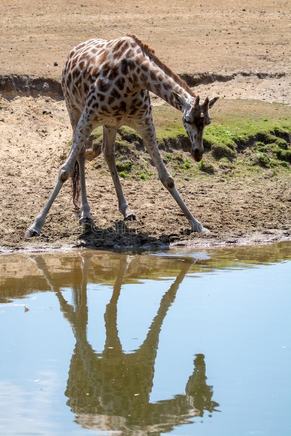 Giraffe animal drinking water from river in safari park with ref. Lection in water stock photo