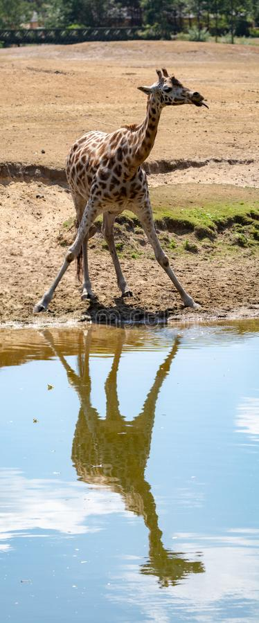 Giraffe animal drinking water from river in safari park with ref. Lection in water royalty free stock images