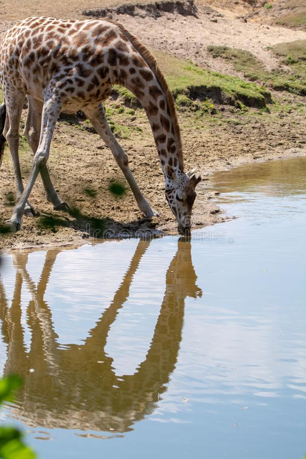 Giraffe animal drinking water from river in safari park with ref. Lection in water stock photography