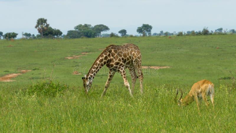 Giraffe and antelope eating grass. A giraffe and antelope eating grass with green landscape in Uganda stock images