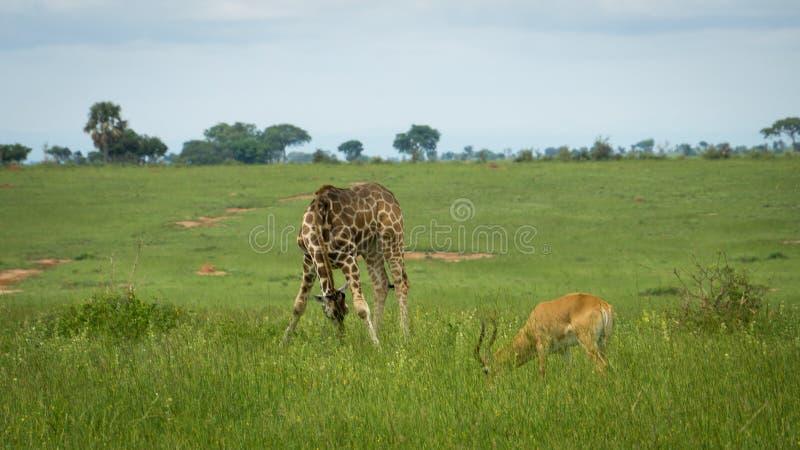 Giraffe and antelope eating grass. A giraffe and antelope eating grass with green landscape in Uganda royalty free stock photography