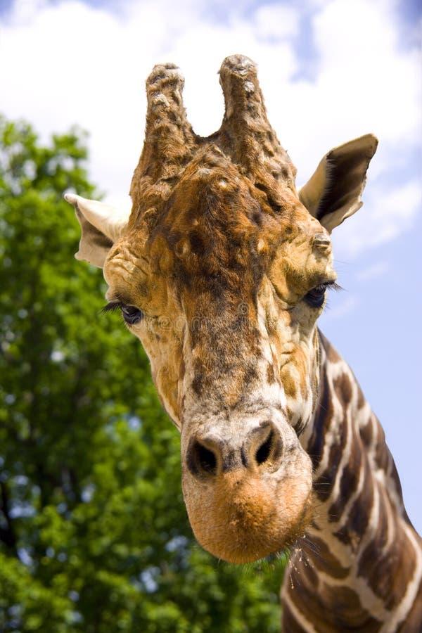 Free Giraffe Artiodactyl Mammal Africa Herbivorous Animal Royalty Free Stock Image - 54610586