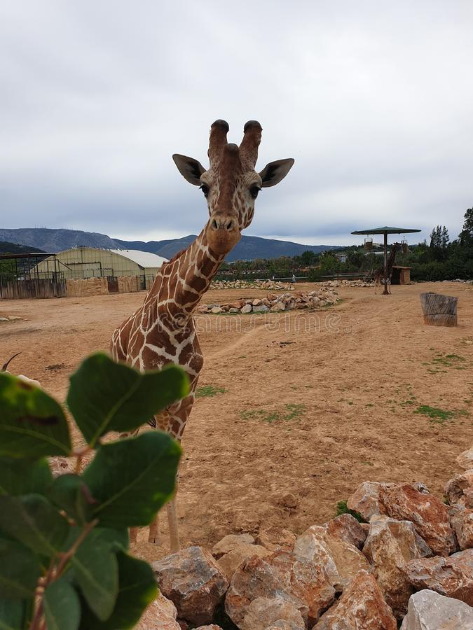 Giraffe in Athens stock photo