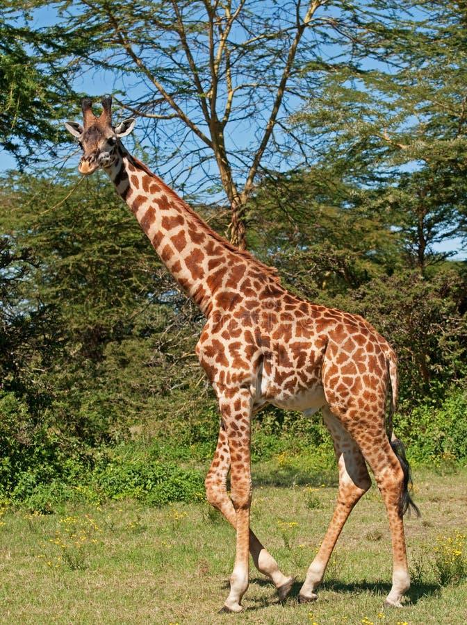 Giraffe au lac Naivasha, Kenya photos libres de droits