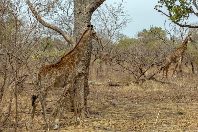 Giraffe auf Naturhintergrund West-Afrika, Senegal stockbilder