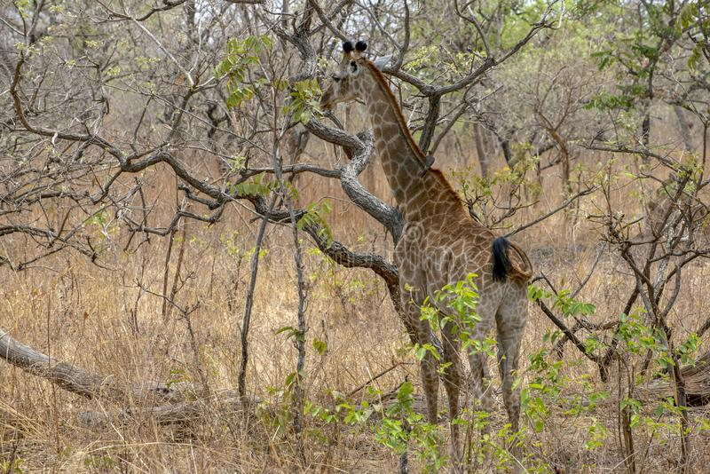Giraffe auf Naturhintergrund West-Afrika, Senegal stockbild