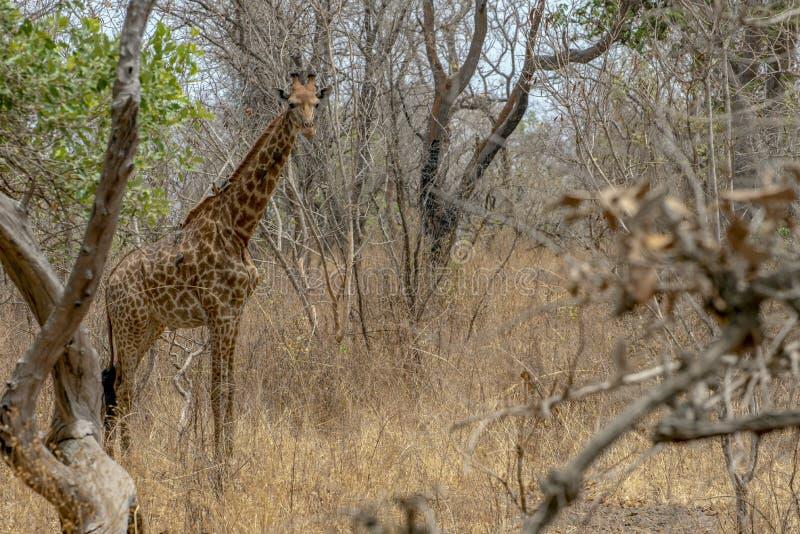 Giraffe auf Naturhintergrund West-Afrika, Senegal lizenzfreies stockfoto