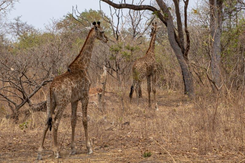 Giraffe auf Naturhintergrund West-Afrika, Senegal stockfotos
