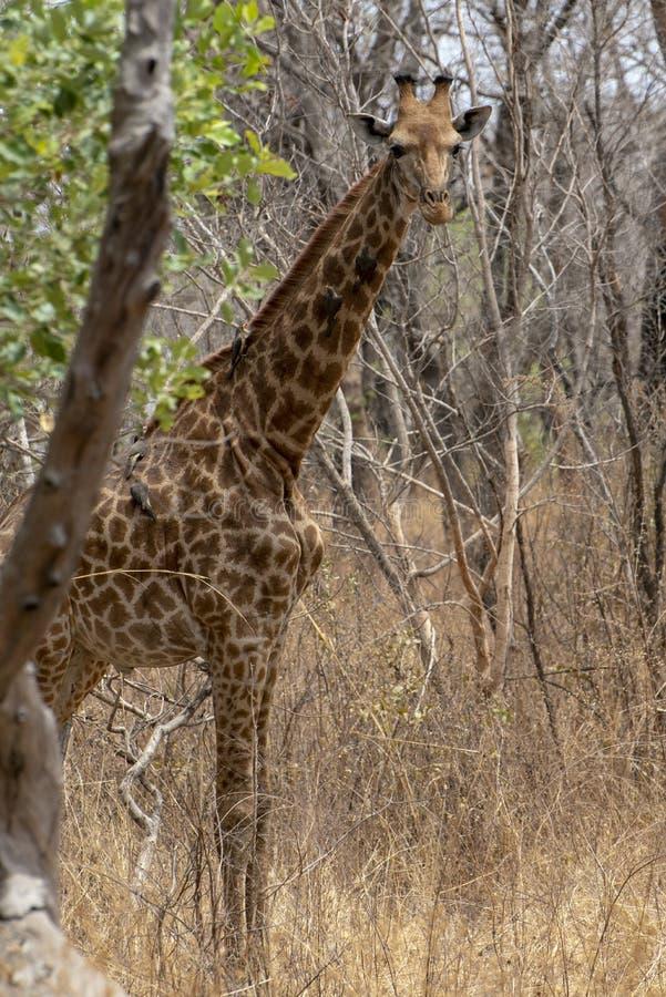 Giraffe auf Naturhintergrund West-Afrika, Senegal stockfotografie