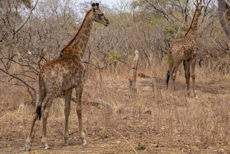 Giraffe auf Naturhintergrund West-Afrika, Senegal stockfoto