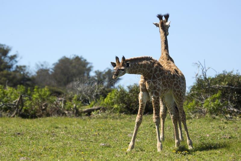 Giraffe babies in the spring grass stock photos