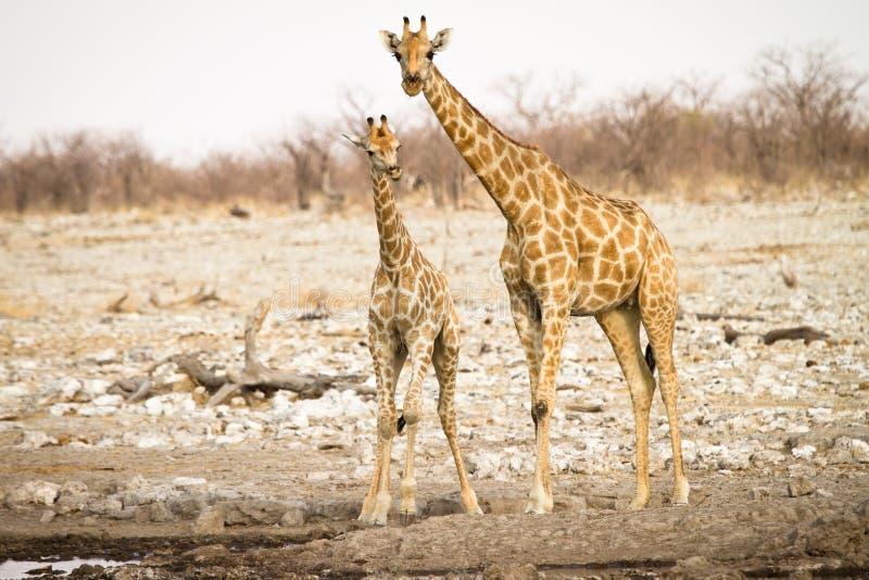 Giraffe with baby. Wild giraffe with baby, Etosha, Namibia stock images
