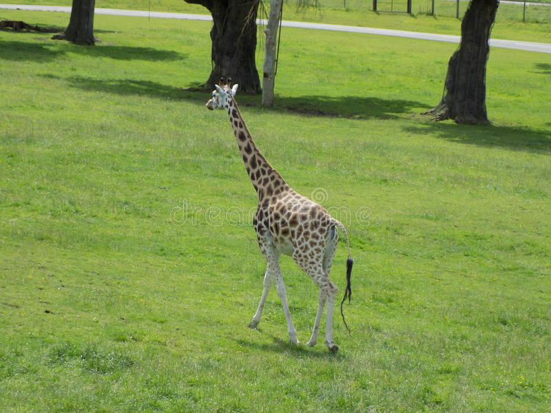 Giraffe. Baby giraffe finding his feet royalty free stock photo