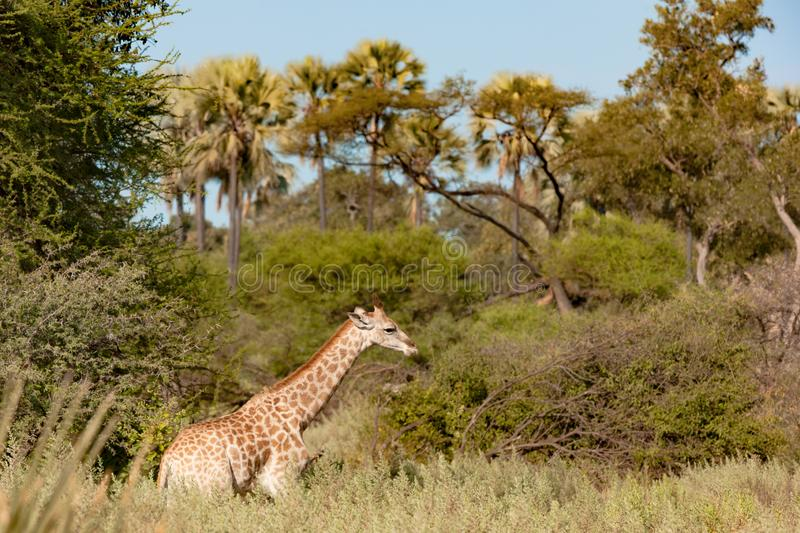 Giraffe in beautiful landscape with palm trees in Botswana stock photos