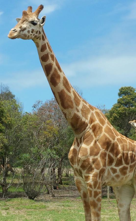 Download Giraffe stock photo. Image of tall, pattern, safari - 105367108