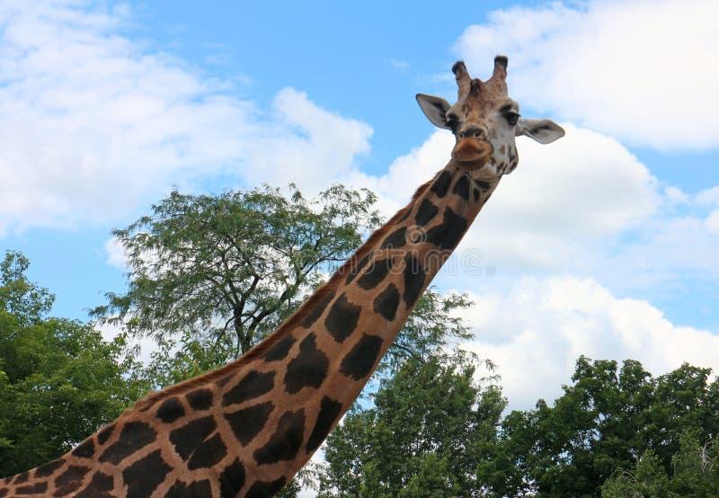 Giraffe. Big giraffe close up portrait royalty free stock image
