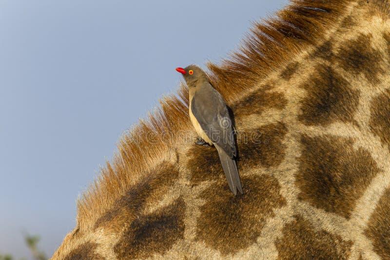 Giraffe Bird Wildlife royalty free stock images