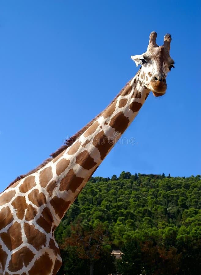 Giraffe on blue sky stock photography