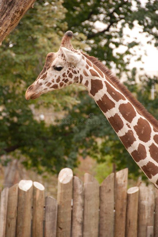 Giraffe am Boise-Zoo stockfotos